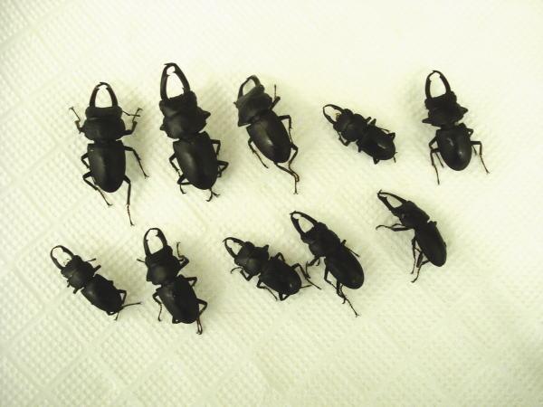 スズメバチ捕獲トラップに入っていたクワガタたち