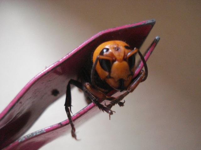 スズメバチ捕獲トラップで捕まえたオオスズメバチ