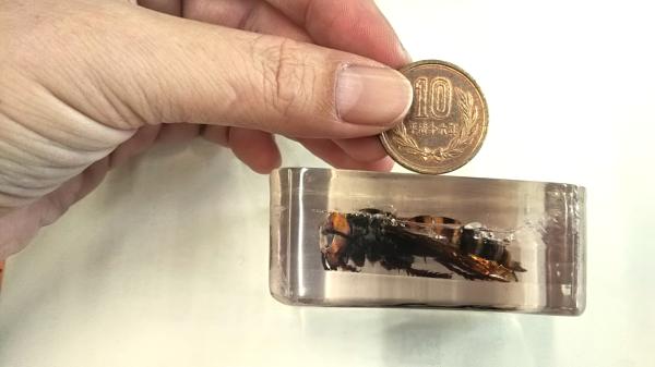 【オオスズメバチ】女王蜂と10円玉 大きさ比較写真