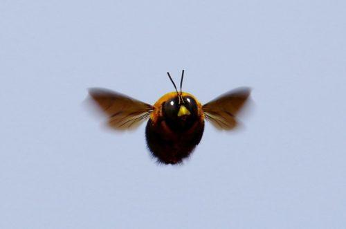 可愛すぎ!昆虫界のアイドル『クマバチ』
